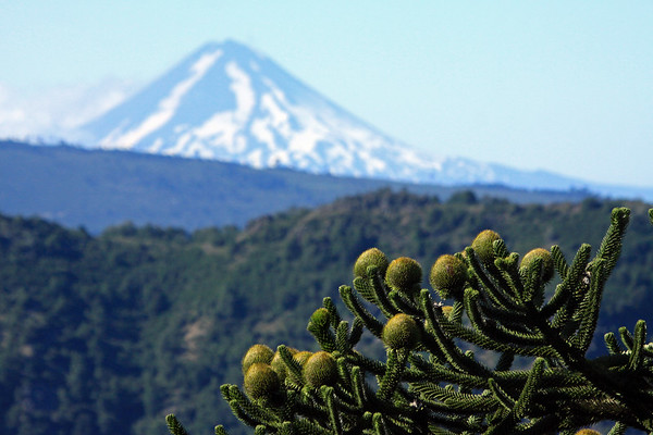 Singular globular cones at the limb's end (the female) - which measure about 7 in. (18 cm) long and 6 in. (15 cm) wide - Pehuén or Monkey Puzzle tree - across the forested Cordillera de las Thermas - to the distal glacial ice slope of Volcan Llaima, a very active stratovolcano - along the northern area of the Southern Volcanic Zone, of the Cordillera Andes (extending from about 33°- 46°S).