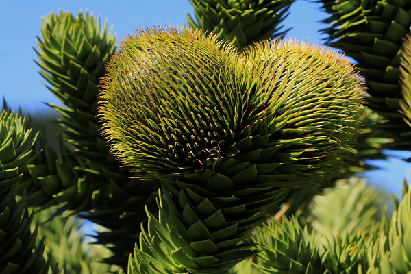 Annual cones growing at the ends of the limbs, of the evergreen Pehuén tree.