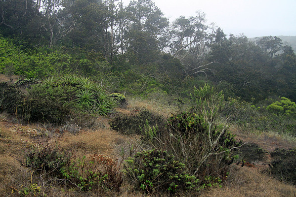 Transitional zone of the Matorral ecoregion (dry) into the Valdivian ecoregion (wet), a relict forest which is supported by the Camanchaca fog moisture - here along the upper slope of the Cordillera Talinay - Bosque Fray Jorge National Park.