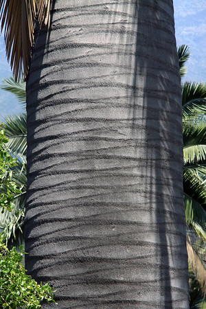 Sunlight and frond shadows, upon the leaf scars of a Chilean Wine Palm trunk, with a dead frond/leaf dangling above.