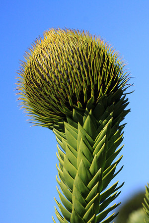 Along the limbs of the Monkey Puzzle tree, grows its leafs - a Coriaceous (stiff, tough, somewhat pliable or leathery) - Sensil (no stalk) - imbricated (overlapping edges) - Acute Apex (sharply pointed tip) leaf, growing in a whorled pattern along the limbs - measuring about 2 in. (5 cm) long, and around 1 in. (2.5 cm) wide - at the limbs end, annual cones grow (here a female cone, which produces an edible seed).