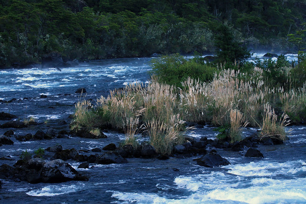 """Rio Petrohue - flowing among the inflorescence of the Cortadera, pampas grass (Cortaderia araucana), locally called """"cola de zoro"""" (fox tail) - and other Valdivian vegetation, along the igneous rock."""