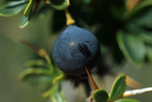 Scuff or scrape mark on the skin of a Calafate berry - created by the shrub's spine tip being wind-blown.