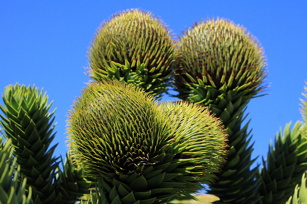 """Pehuén or Monkey Puzzle tree (Araucaria araucana) - this species of evergreen conifer is """"dioecious"""" (having a separate male and female tree) - the differences are distinguished by the male, growing from 5-6 elongated cones at the ends of the limbs - while the female tree produces a single globular cone at the limb's end (as seen here)."""