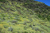 Florescence of the cushion plants, mixed among the shrubs, along the rocky slope - the Patagonia Steppe ecoregion.