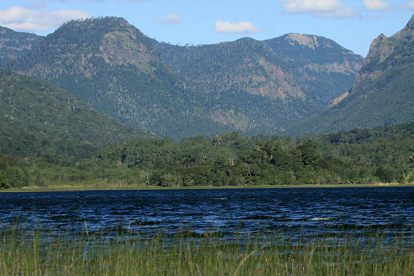 Beyond the flowering spike sedges along the western shore of Laguna Malleco - to the forested lower western spurs and foothills of the Cordillera Andes - the Valdivian Temperate Forest ecoregion - Tolhuaca National Park.