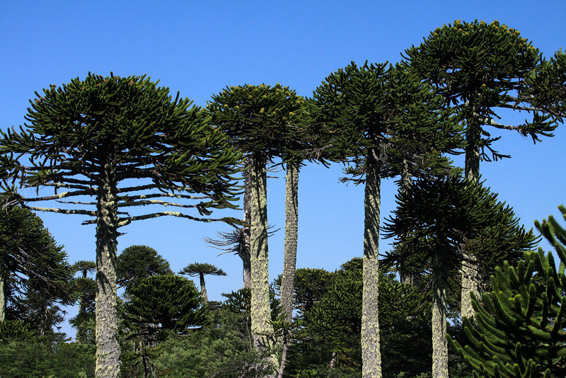 Pehuén or Monkey Puzzle tree - displaying its horizontal branches, limbs (clustered with cones), and epiphytic fruticose lichen upon the tall trunks, reaching up to about 130 ft. (40 m).