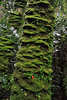 Medal (Sarmienta repens) - a creeping and climbing evergreen perennial vine, here revealing its florescence, among the epiphytic moss coating the tree trunk.