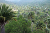 Chilean Wine Palm forest - Campana National Park - Valparasio region.