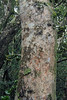 Olivillo tree (Aextoxicon punctatum) - develops a smooth and light gray bark - this specimen clustered with epiphytic lichen and tree moss.
