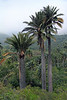 Chilean Wine Palms - revealing their distinctive large diameter trunks - which can grow to about 60 ft. (18 m) tall and around 5 ft. (1.5 m) in diameter.