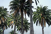 Chilean Wine Palm - Campana National Park.
