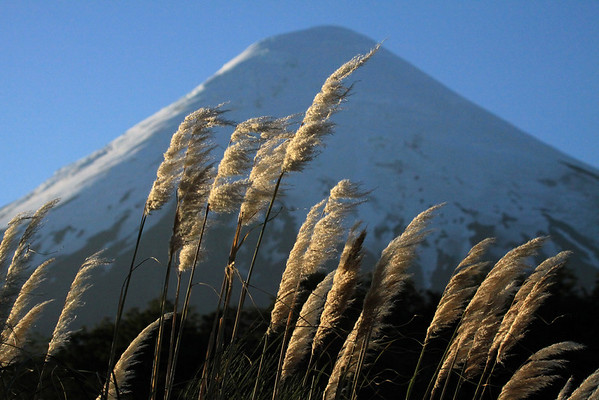 Beyond the sunlit inflorescence of the Pampas Grass (Cortaderia araucana) - to the mostly shaded glacial ice cap and conical peak, of Volcan Osorno.