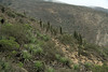 Chagual bromeliads (Puya chilensis) - among the Quisco cactus (Echinopsis chiloensis), and scrub vegetation of the Matorral ecorgion - eastern slopes of the Cordillera Talinay - Coquimbo region.