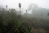Terrestrial bromeliad (Puya chilensis) - locally called Chagual - some specimens displaying its fading spike inflorescence - with the Camanchaca fog, among the shrubs and trees beyond.