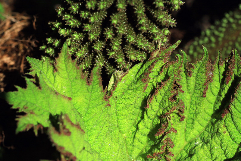 New leaf growth and inflorescence - of the Nalca shrub (Gunnera tinctoria).