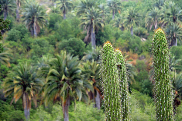 Quisco (Echinopsis chiloensis), revealing its spines protruding from the areoles, along the ribbed stalks - with the Chilean Wine Palms beyond.
