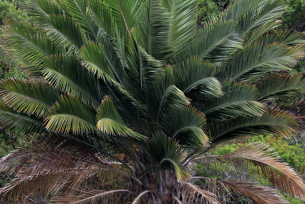 Fronds or leafs of a Chilean Wine Palm - grows to about 10 ft. (3 m) long, with leaflets reaching about 2 ft. (60 cm), and a short petiole attaching it to the trunk.