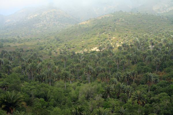 Chilean Wine Palm - among the vegetation of the Matorral ecoregion (forests, woodlands, and scrub) - the Coastal Range of central Chile - Valparasio region.