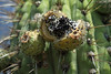 Quisco cacti (Echinopsis chiloensis) - fruit and seeds - early summer season.
