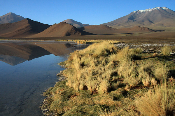 Early morning light upon the cushion plant and tussock grass, lining the shoreline of the placid endorheic lagoon water - displaying a reflection Cerro Cebollar and Cerro Cuevas, beyond the lower foothills of Cerro Palpana (r) - among the pair of Andean Avocet - Alto Loa National Reserve - northern Antofagasta region.