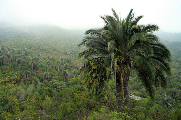Chilean Wine Palm - to the distal palms, among the clouds, along the lower slope of Cerro Campana (Bell Hill).