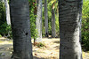 Sunlight and shadows upon the trunks of the Chilean Wine Palms.