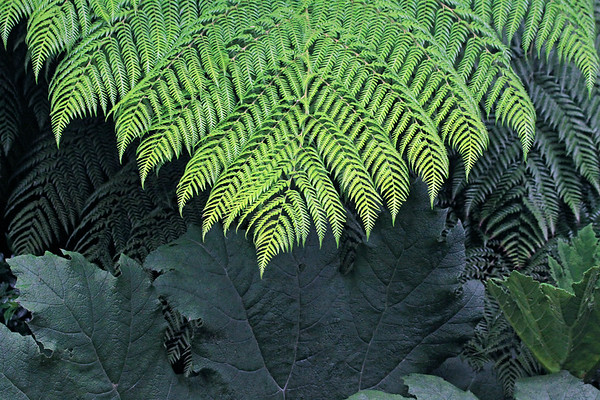 Ampe (Lophosoria quadripinnata ), a tree fern displaying its blades with binnate pinnas (leaflets), and numerous binnate pinnules (lobes), there upon - and the massive leafs (dorsal and new growth of the ventral side) of the Nalga shrub.