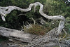 Sapwood of a fallen Valdivian forest tree, the Boldo (Peumus boldus) - here atop the Cordillera Talinay.
