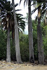 The massive diameter trunks of the Chilean Wine Palms - Campana National Park.