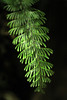 Fern (Hymenophyllum pectinatum) - grows from Araucania (region), southward along the Andes, to the southern end of South America.