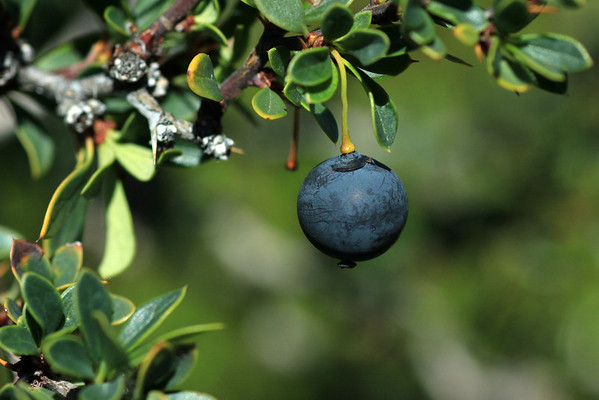 The edible and tasty berry of the Calafate (Berberis microphylla).