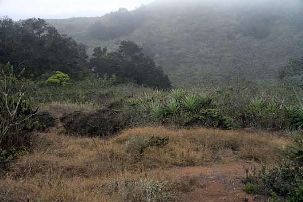 Woodlands and scrub along the leeward slope of the Cordillera Talinay - mid-summer season, with the Camanchaca fog above.