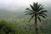 Chilean Wine Palms  - along the lower eastern slope of Cerro Campana.