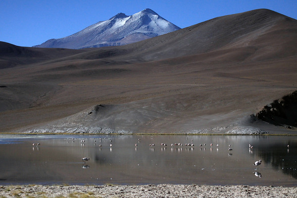 Andean Flamingos (Phoenicopterus andinus), feeding upon diatoms (an algae), in Laguna Santa Rosa - beyond the lower eastern slope of Cerro Pastillitos - to the snow-capped peak of  Volcan Copiapo, also known as Volcan Azufre (sulfur).
