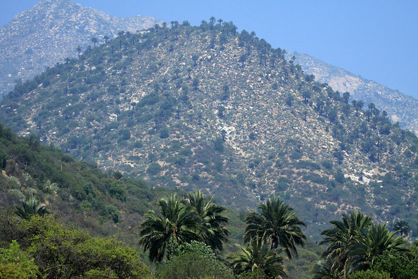 Chilean Wine Palms (Jubae  chilensis) - clustering the rocky lower slopes - Campana National Park - Valparaiso region - Matorral ecoregion - Coastal Mountains - central Chile - early summer season.