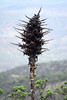 Up the bloom spike/stalk, with some chlorophyll green still  lingering - with its faded inflorescences - the Chagual bromeliad (Puya chilensis).