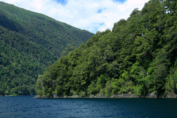 Southern Beech trees, along the igneous rock shoreline, of Lago Pirehueico.