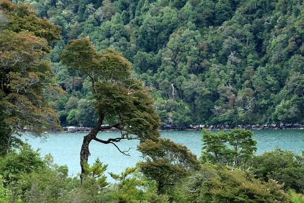 Early summer season's leaf growth, of the dominate southern beech tree species - along the Seno Queulat fjord.