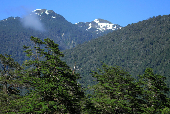 Beyond the upper limbs and branches of the evergreen tree, the Coihue Magallanes or Guido (Nothofagus betuloides), one of the southern beech trees of the Valdivian Temperate Rainforest ecoregion - to the cumulus cloud, then distal to the glacial slopes of the Patagonia Andes.