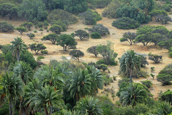 Chilean Wine Palm - among the Matorral ecoregion vegetation of forests, woodlands, and scrub - here in the Valparasio region - central Chile.
