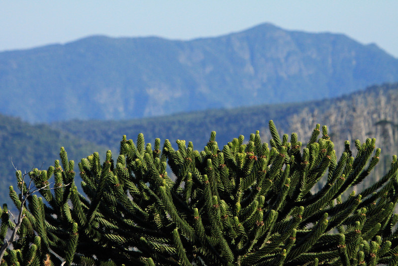 Across the upper limbs and canopy of the Pehuén or Monkey Puzzle tree - to the slopes of the Cordillera Malleco.
