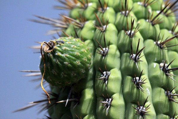 Fruit of the Quisco cacti (Echinopsis chiloensis) - along the ribbed stalk, and the spines extending from the areoles.