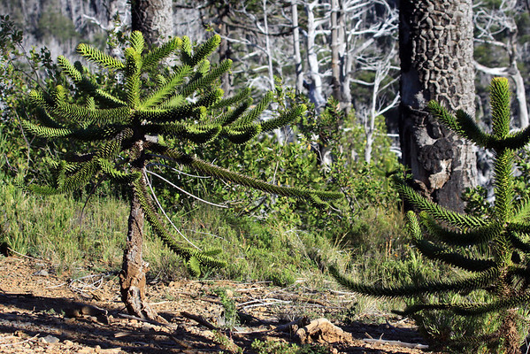 Young Pehuén tree - among the two other mature Monkey Puzzle trunks.