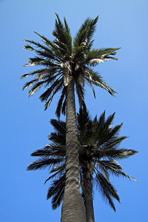 Up your Chilean Wine Palm - which grows up to about 60 ft. (18 m) tall.