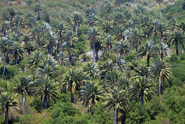 Chilean Wine Palms - growing among the Matorral ecoregion vegetation (forests, woodlands, and scrub) - Campana National Park.