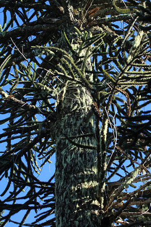 Sunlight and shadows upon the trunk and branches of the Pehuén or Monkey Puzzle tree - with epiphytic fruticose lichen thriving upon.