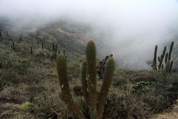 Camanchaca Fog - along the slopes of the Cordillera Talinay - among the Matorral ecoregion vegetation.