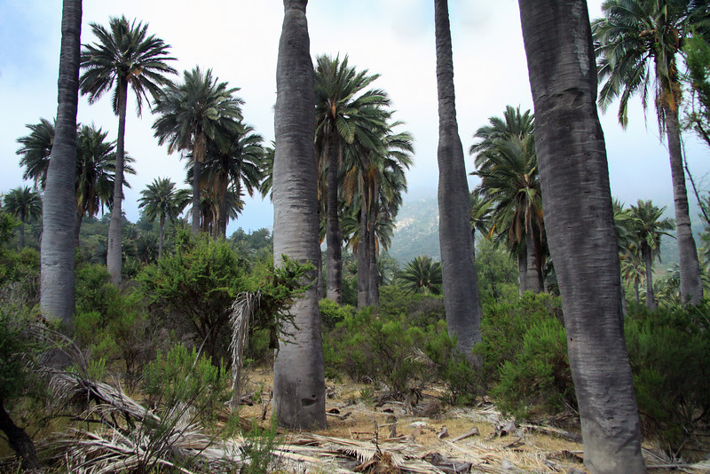 Chilean Wine Palm (Jubae chilensis) - growing among the vegetation of the Matorral ecoregion (forests, woodlands, and scrub) - this area of central Chile, with rainy winters and dry summers, occupies the terrain between the Pacific and the Andes Mountains, along the Cordillera de la Costa (Coastal Moutain Range).