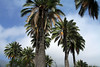 Trunks and crowns of the Chilean Wine Palms - among a partially clearing sky.